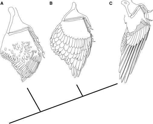 Diagram depicting the wings of Anchiornis, Archaeopteryx and Confuciusornis.