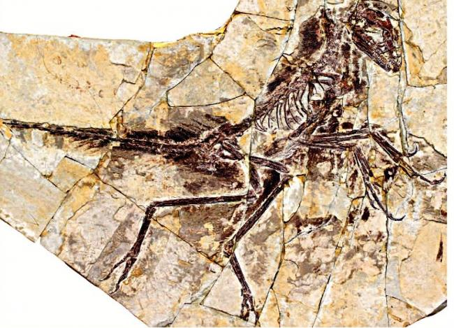 Eosinopteryx, another small, primitive troodontid. Unlike Anchiornis, it has reduced flight feathers, which seem to translate to a genuinely cursorial lifestyle