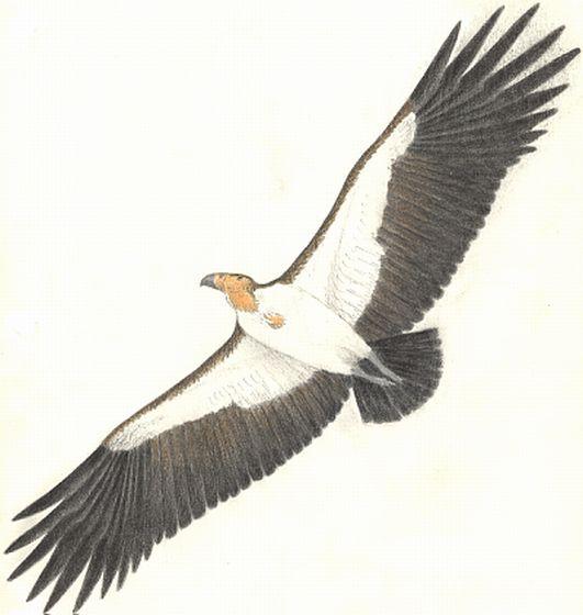 Aiolornis-incredibilis2