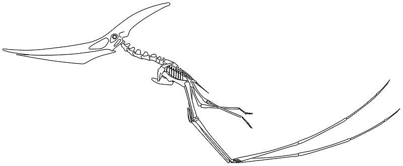 Pteranodon longiceps taking off.