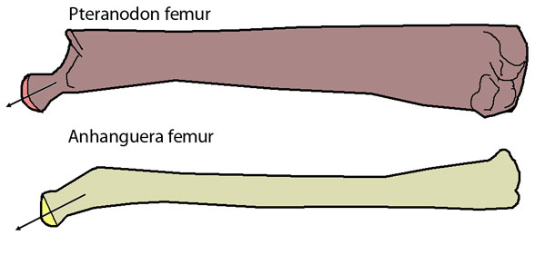 Both femurs have roughly the same density, yet the pneumatisation in Pteranodon's allows it to be much more robust.
