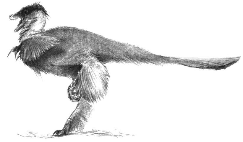 """Pedopenna reconstruction. We now know that many theropods had exuberant """"wings"""" on the limbs; could complex feathers as a whole have originated as display devices on the limbs?"""