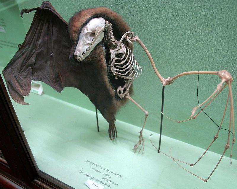 800px-Horniman_fruit_bat_skin_skeleton