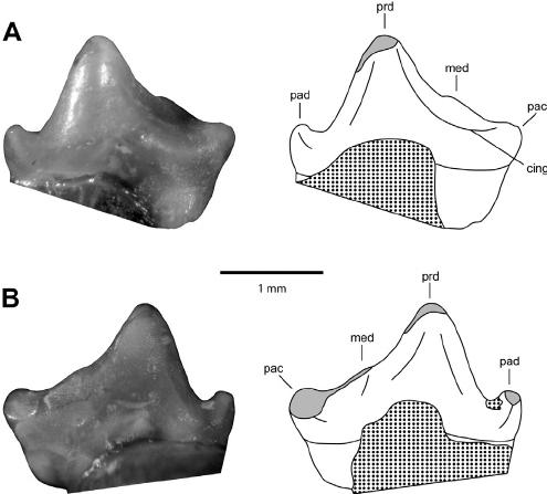 Photo-and-line-drawing-of-Austrotriconodon-mckennai-lower-left-premolariform