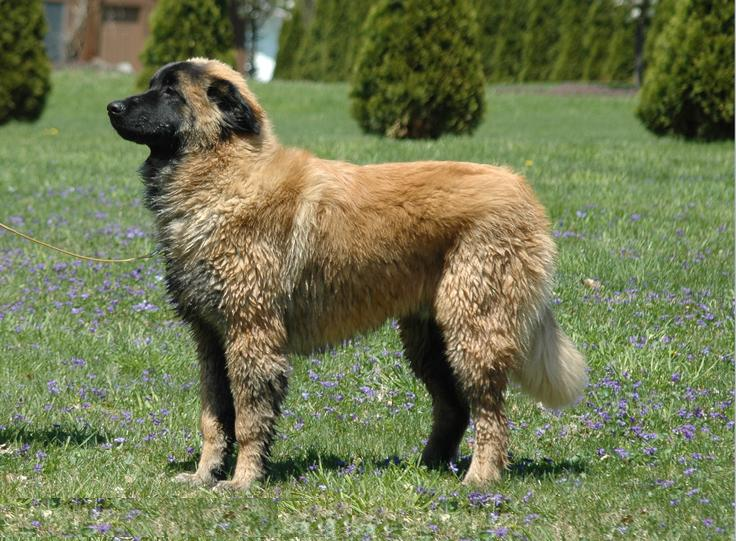 Estrela_Mountain_Dog_6_month_old_male